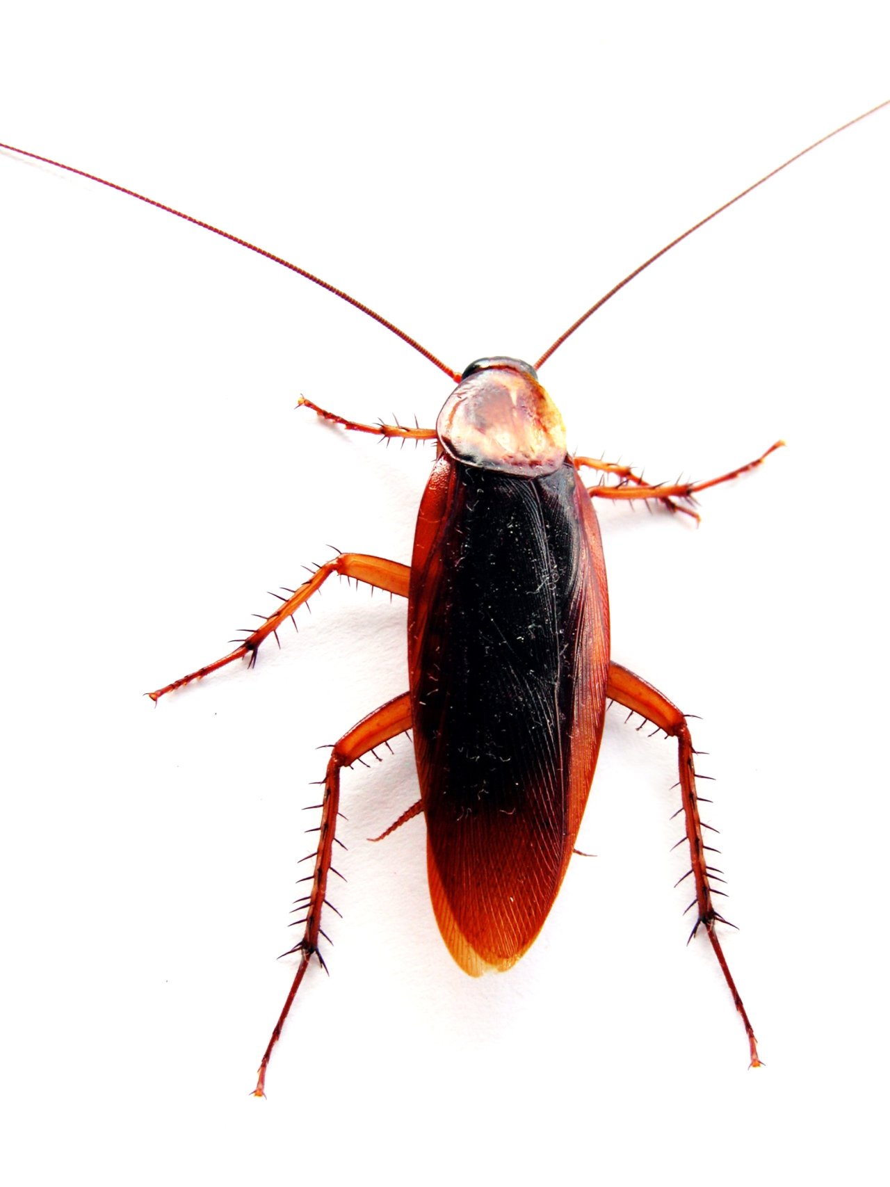 Cockroach_closeup